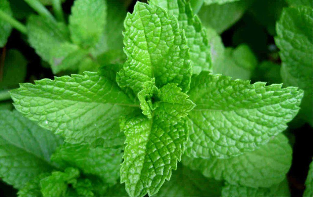 Mint leaves can help to reduce Sinus pain
